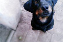 I love dachshunds :)