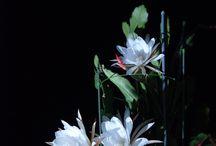 Bloom/月下美人