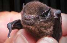 NZ Land Mammals = BATS!
