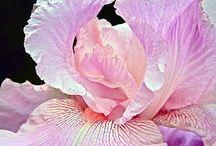 Iris / by Jane Bernardo