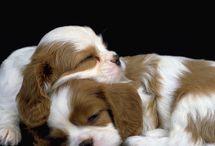 Cavalierpage pups