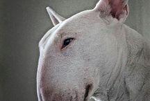 Inglese bull terrier