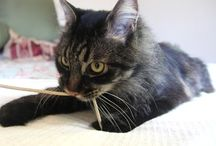 Cats - All Kinds! / Photos of all types of kitties / by Maine Coon Adoptions