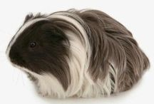What my mum wants / My mum wants a long haired Guinea pig