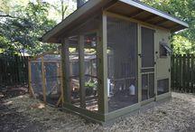 Suburban chickens