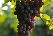 Vines, vineyards and grapes
