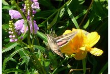 Hummingbird Moth / The Hummingbird Moth has been seen around Escanaba  / by Bud Lemire