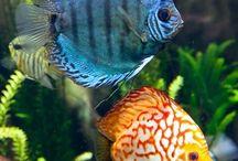 peces