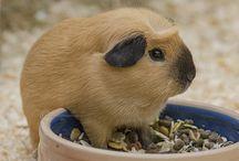 GUINEA PIG:)