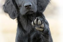 flatcoat retriever en labrador / Over het prachtige honden ras flat coat retriever en labrador.