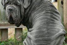 neapolitan mastiff ♡