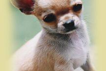 Chihuahuas...