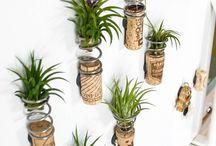 Decoration air plants