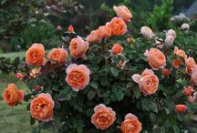 Roses I would like to have in the garden