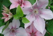 Garden Brushwood Nursery Clematis / by Traseguss Trunenp