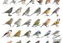 Tabule ptaci