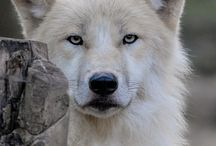 Wild Wolf / I love wolves - I've never seen a wild wolf!