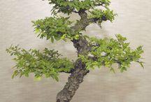 Bonsai Tree's
