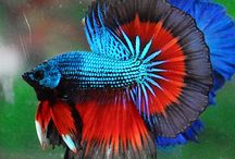 Warriors in Colours / betta fish beauty