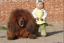 tybetské dogy