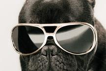 French bulldog / Dog