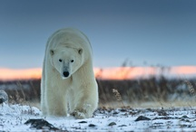 Polar Bears / by Victoria Hahn