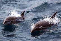 Marine Mammals / Cetacei