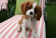 cavalier king charles spaniel / maybe one day will be mine <3 <3 <3