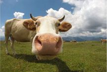 Oh la vache !