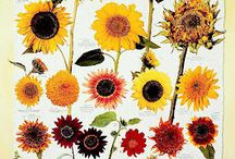 sunflowers / by Shannon Finch-Cubley