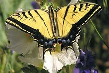 Two-tailed Swallowtail - AZ State Symbol / This beautiful butterfly became a state symbol in 2001... it's wings are yellow and black.