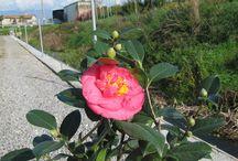 Camellia R.L. Wheeler