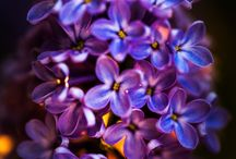 Flowers: Lilac