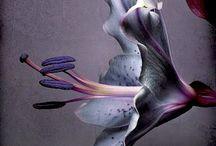 bloem lelie