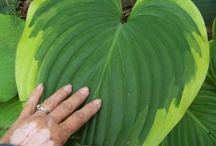Plantes - Hosta
