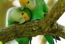 parrots,  parrot love, kakatoe, fishery, love bird, ara,