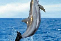 Dolphins and Walfish