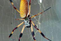 Araignėe