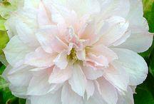 Garden - Dahlia flowers