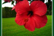 GUMAMELA flowers / Flowers
