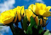 Rosas & Rosas Amarillas Para Ti!