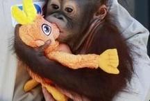 Orangutans / by Sherry Kearney
