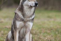 saarlaswoolfhond wilczak saarloosa