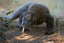 Lucy's Komodo Dragon Report / by Sarah Provonsha