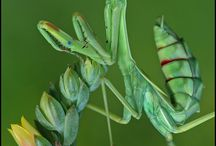 Praying mantis / Praying mantis