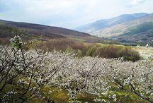 La floración de los cerezos- lugares. / Desde Japón a Seattle pasando por el Valle del Jerte, estos son los mejores lugares para ver el cerezo en flor.  Entre marzo y abril, tiene lugar un acontecimiento incomparable, un espectáculo único de la naturaleza, en el que los colores blanco y rosa se convierten en sus protagonistas: la floración de los cerezos.