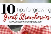 Great Tips on growing STRAWBERRIES