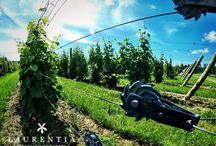 The Vineyard / Beautiful photographs from our vineyard