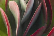 Kalanchoe vetplante