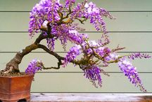 Wisteria Bonsai Seeds / Tag friends who would love to grow Wisteria Bonsai Tree. First 250 buyers will get a special discount and free shipping! Get your seeds here - https://goo.gl/tLTKLZ